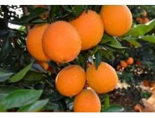 江西赣南信丰脐橙 新鲜水果 橙子纽荷尔甜橙 包邮 5斤装