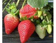 草莓种子 盆栽草莓 四季可种 阳台种菜 高出芽率