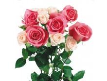 阳台盆栽玫瑰花种子春夏秋播易种花卉法国玫瑰 出芽率高100粒包邮